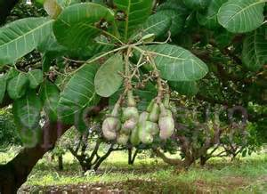 Cashew Plant Fruit Tree