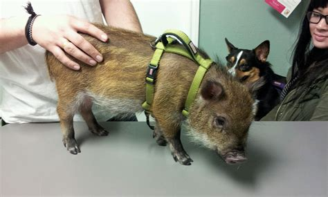 pot belly pig pet look at our newest pot belly pig patient valley view pet health center 972 247 2242