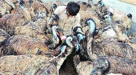 emus  abandoned  nal sarovar sanctuary