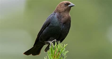 brown headed cowbird life history all about birds