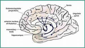 Diagram Representing Papez U0026 39  Hippocampo