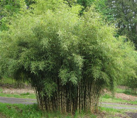 Fargesia Robusta,clumping Bamboo, Fargesia Robusta Campbell. Denver University Psychology. Anthropology Degree Online Top Level Domain. Efficiency Of Heat Pump Excellence In Fitness. Field Service Management Music Business Class. Do Body Wraps Work To Lose Weight. Commercial Bank Lending What Are Damon Braces. University Of Denver Library. Top Business Colleges In New York