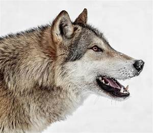 94 best Wolf head in profile, vlk z profilu images on ...
