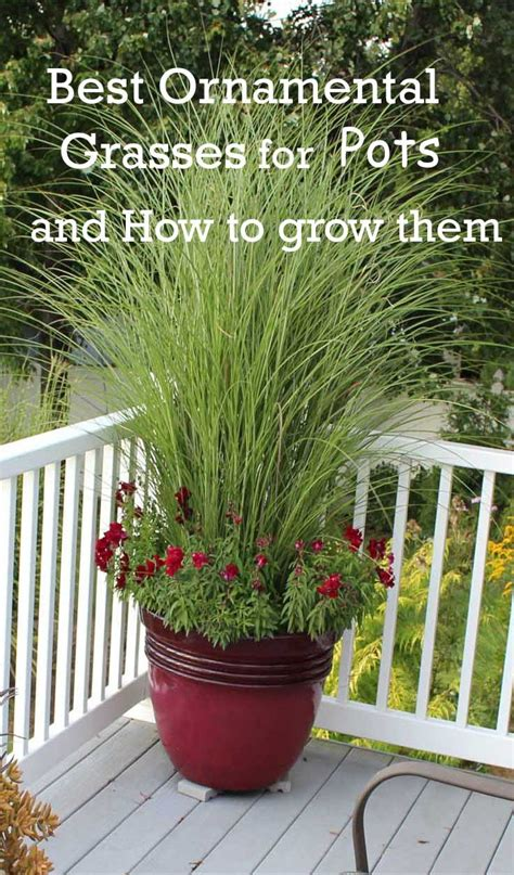 grasses for pots best ornamental grasses for containers dan330