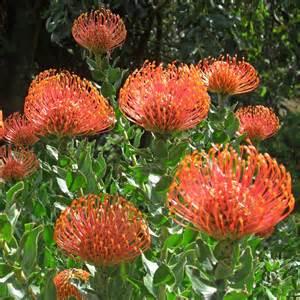 flower seed paper australian seed leucospermum cordifolium