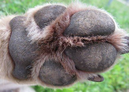 wolf paw dogs animals background wallpapers  desktop
