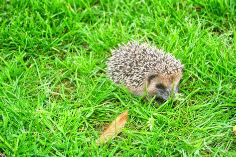 Herisson Dans Jardin Clos by Good News Bonnes Nouvelles Un B 233 B 233 H 233 Risson Dans Mon Jardin