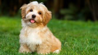 100 hypoallergenic non shedding small dog breeds