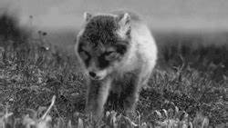 gif baby cute adorable fluffy wolf husky white Little ...