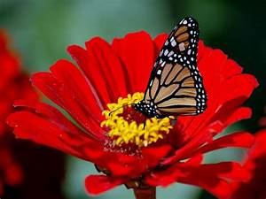 Butterfly on red flower wallpapers and images - wallpapers ...
