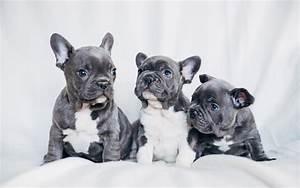 French Bulldog Puppies Wallpaper 4K HD Download For Desktop