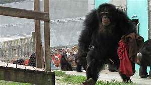 Laboratory chimps get a new lease on life - CNN