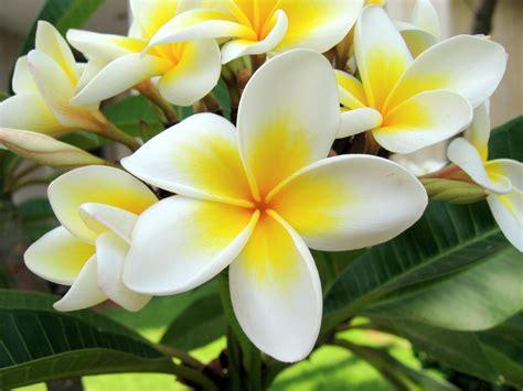tanaman white plumeria kamboja the flower decorationplants