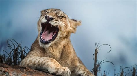 Hd Wallpapers 1366x768 Animals - wallpaper 1366x768 yawn animals up hd