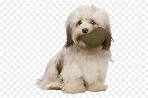 Although this dog may be related to the bichon frise, the löwchen's history remains obscure. dog maltese havanese kyi-leo löwchen