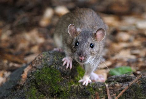 tourist litter blamed  invasion  rats  louvre