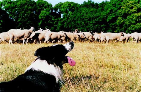 teach  dog  herd cattle pets