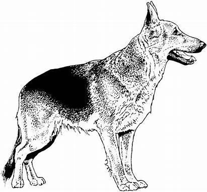 Coloring Shepherd German Dog Weiss Schwarz Breed