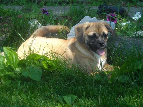 Do Pugs And Puggles Shed by Tri Colored Puggle Breeds Picture