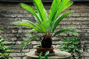 Welche Erde Für Palmen : winterharte palmen die besten arten f r den garten plantura ~ Watch28wear.com Haus und Dekorationen