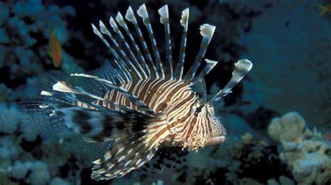 Full Hd Wallpaper Red Lionfish Underwater Venom, Desktop