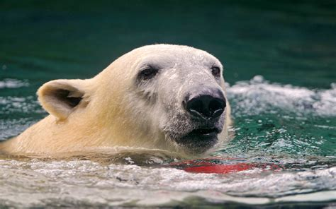 Swimming Polar Bear 1920x1200 Wallpaper
