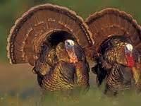 turkey animals town