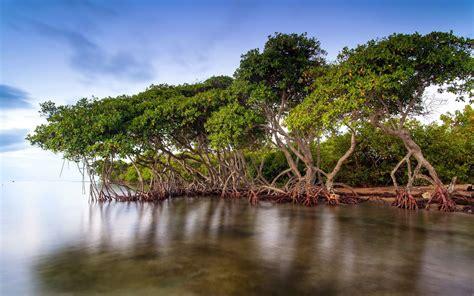 Mangroves Of Florida
