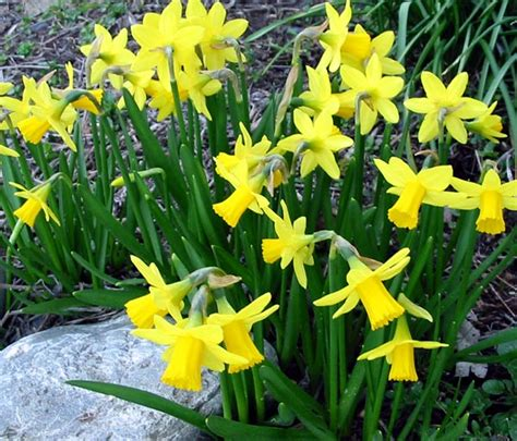 1000 images about miniature daffodils on