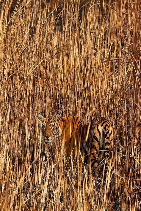 Camouflage Tiger Animal