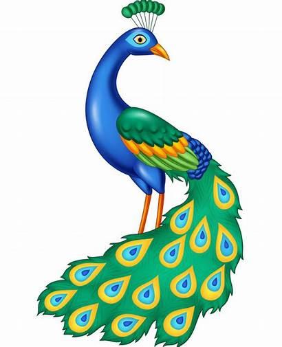 Peacock Cartoon Vector Illustration Drawing Vectors Clipart