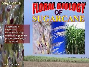 Flower Structure Of Sugarcane