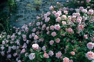 Rosier Grimpant Remontant : planter un rosier grimpant remontant contre un mur ~ Melissatoandfro.com Idées de Décoration