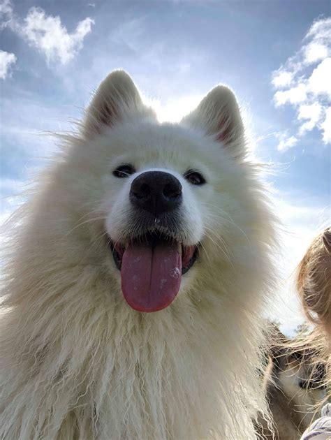Bianca Female Samoyed From Sled Dog Rescue