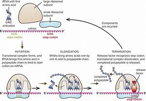 What Causes Mrna Translation To Stop    Example