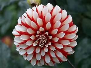 Useful Tips to grow Dahlias