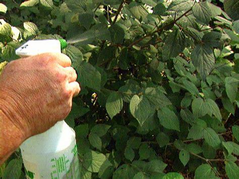 Treating Powdery Mildew On Plants Effective Fungicides Hgtv