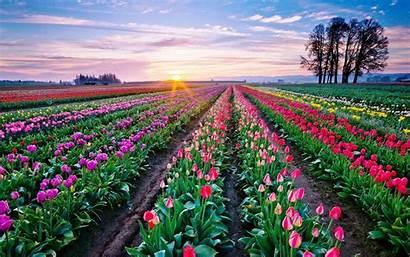 Tulips Desktop Background Flowers Fields Wallpapers13 Trees