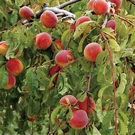 How to Plant a Peach Tree
