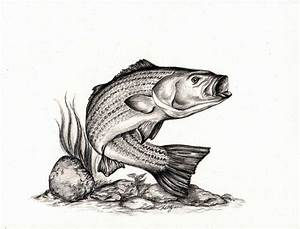 Bass Fish Drawings - ClipArt Best