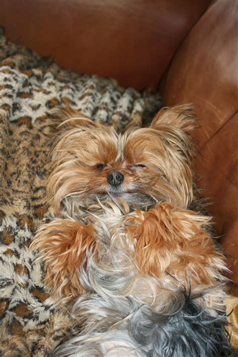 Miniature  Ee  Yorkshire Terrier Ee   Yorkie Needs A Haircut