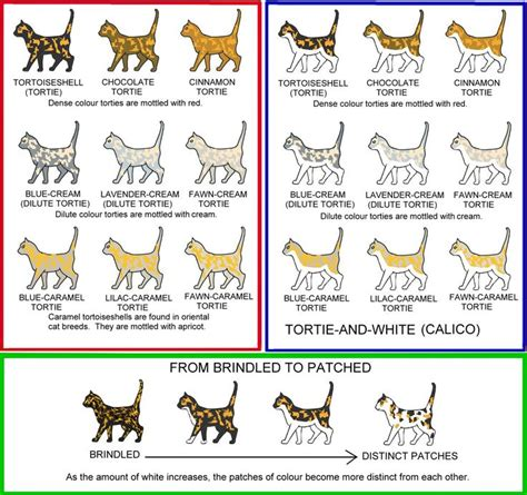 cat colors 25 best images about feline facts on thoracic