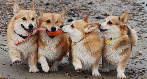 pembroke welsh corgi dog breed information american