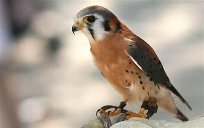 Birds Prey Animals Wallpapers Desktop Bird Animal