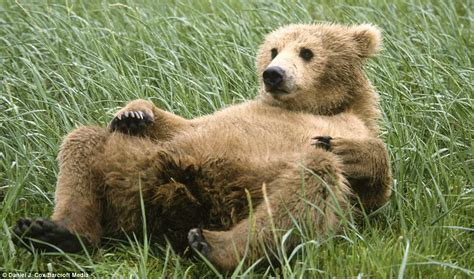 Brown Bear Cubs Copying Wrestling Adults