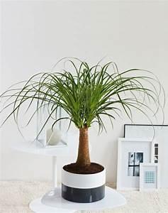 Bambus Pflege Zimmerpflanze : zimmerpalmen arten zimmerpalmen bilder welche sind die ~ Michelbontemps.com Haus und Dekorationen