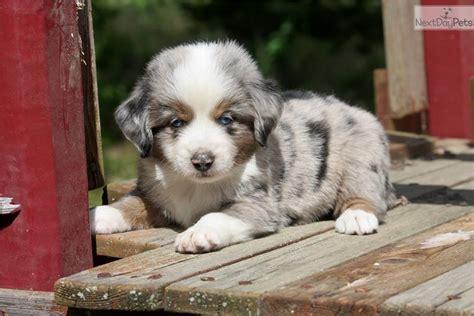 australian shepherd puppy  sale  dallas fort