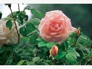 Kletterrose New Dawn : rosen mit langer bl tezeit mein sch ner garten ~ Michelbontemps.com Haus und Dekorationen