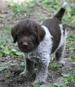 Wirehaired Pointing Griffon Dog Breed All Information ...