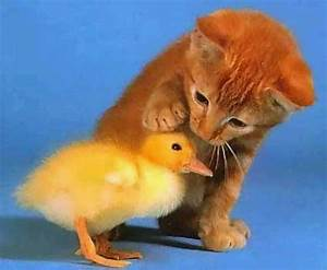 Kitten and duck | just because | the kiddos will think it ...